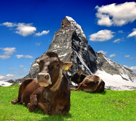 european alps: Cow lying in the meadow In the background of the Matterhorn-Swiss Alps