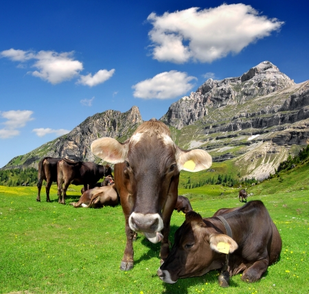cows in the meadow - Brenta, Dolomites Italy