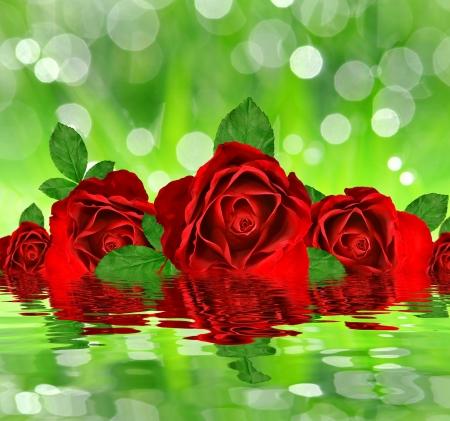 red rose bokeh: red roses