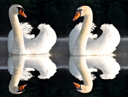 birds lake: swans on the lake