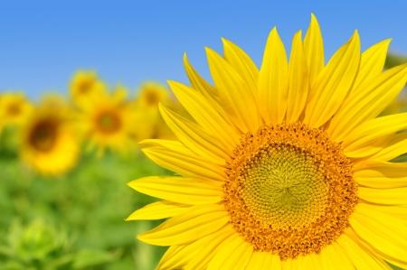 agronomy: sunflower field Stock Photo