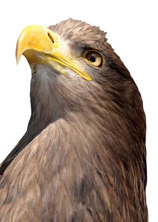 sea eagle  photo