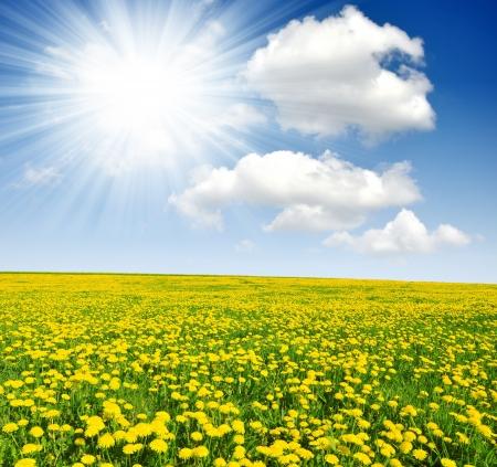 sunshine: Diente de le�n campo