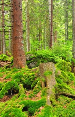 wildwood: mountain wildwood in National park Sumava, Czech Republic