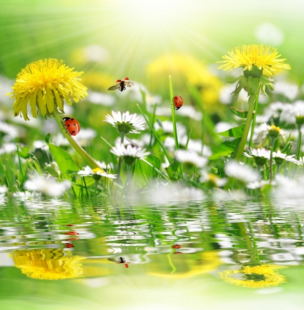 dandelions and daisy with ladybugs in the meadow  photo