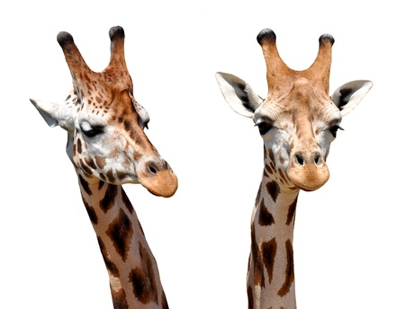 animals horned: two Giraffes isolated