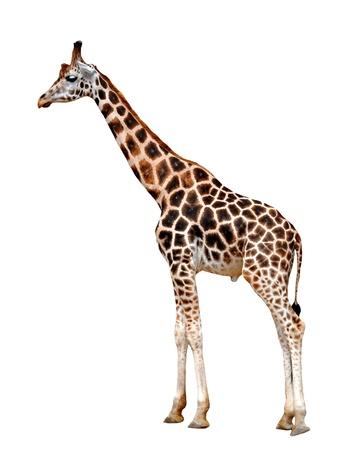 jirafa fondo blanco: jirafa aislada