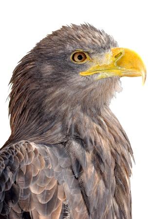 rapacity: sea eagle isolated on white background