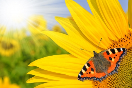 sunflower field with butterfly Stock Photo