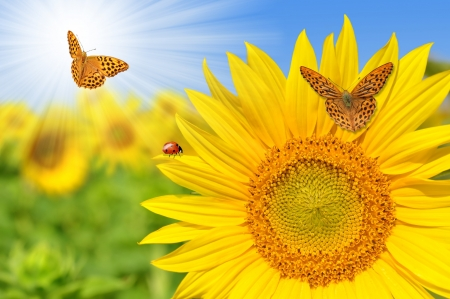 yellow stamens: sunflower field with butterflies