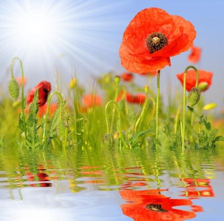 opium poppy: red poppy in wheat field  Stock Photo