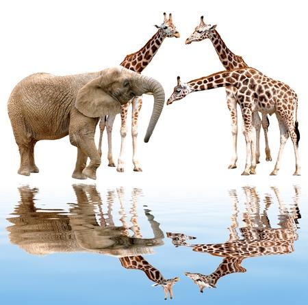 giraffes with elephant isolated on white  Stock Photo - 15647476