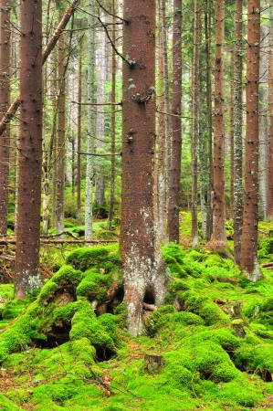 montane: mountain wildwood in National park Sumava, Czech Republic