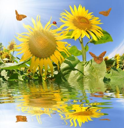 yellow butterfly: Summer sun over the sunflower field with butterflies  Stock Photo