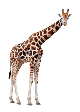 jirafa fondo blanco: jirafas aislados
