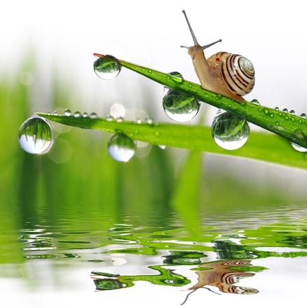 caracol: Caracol en la hierba húmeda de rocío
