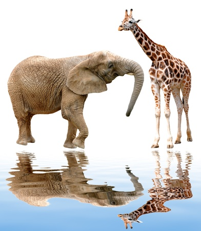 giraffe with elephant isolated on white  Stock Photo - 15711151
