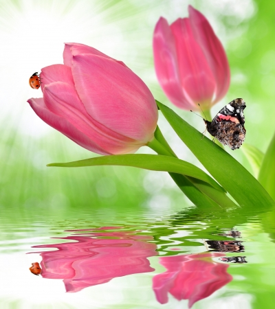 pink tulips with butterfly  photo