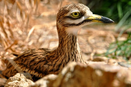 birdlife: stone curlew  Burhinus oedicnemus   Stock Photo