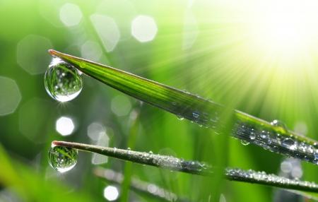 dew drop: Fresh grass with dew drops close up