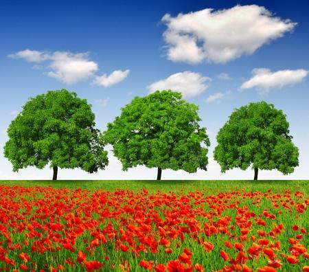 opium poppy: spring trees with red poppy
