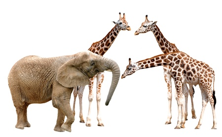 giraffes with elephant isolated on white  Stock Photo - 15637257