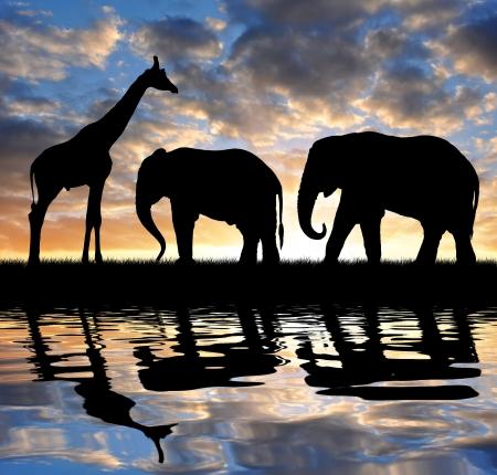 serengeti: silhouette elephant and giraffes in the sunset