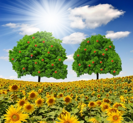 apple trees  with sunflower field  photo