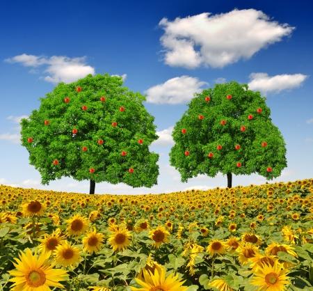 apple trees on sunflower field photo