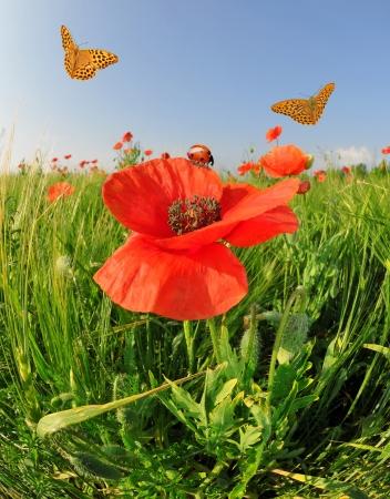 field of corn poppy flowers: red poppy in green wheat field with butterflies