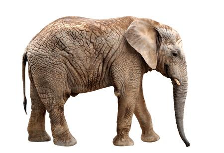elephant trunk: African elephant