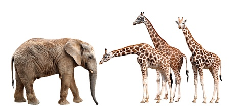 giraffes with elephant isolated on white  photo