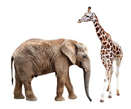 giraffe skin: giraffes with elephant isolated on white
