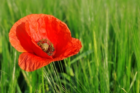 red poppy growing in wheat field