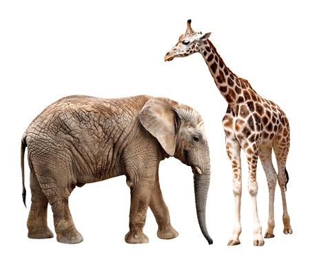 giraffes with elephant isolated on white  Stock Photo - 16275439