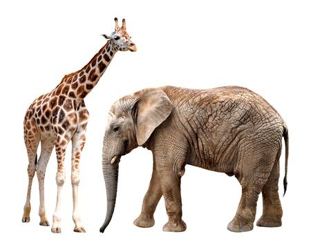 Giraffen mit Elefanten isoliert auf weiß Standard-Bild