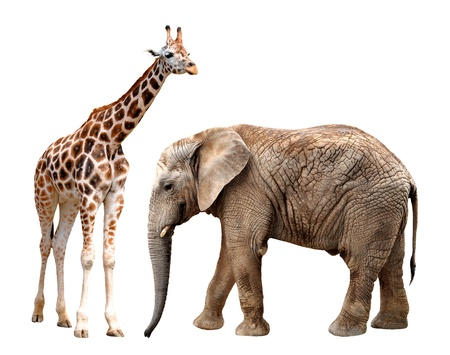 giraffes with elephant isolated on white