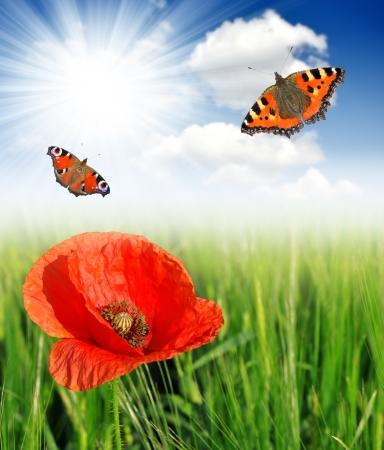 opium poppy: red poppy growing in wheat field