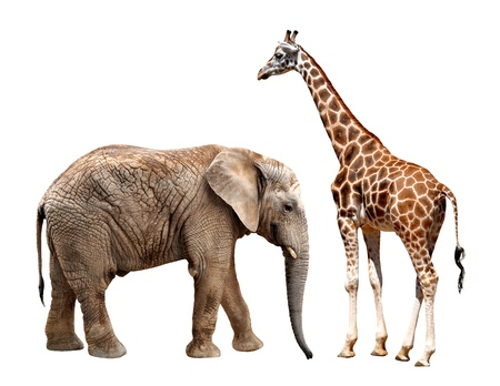 giraffes with elephant isolated on white Stock Photo - 16225463