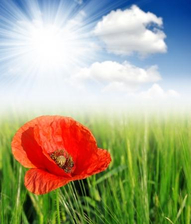 opium poppy: Red poppy in wheat fields  Stock Photo