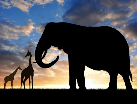 youngly: Silhouette elephant with giraffes in the sunset  Stock Photo