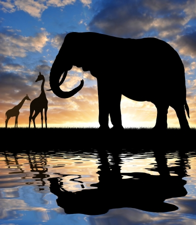giraffe silhouette: silhouette elephant and giraffes in the sunset