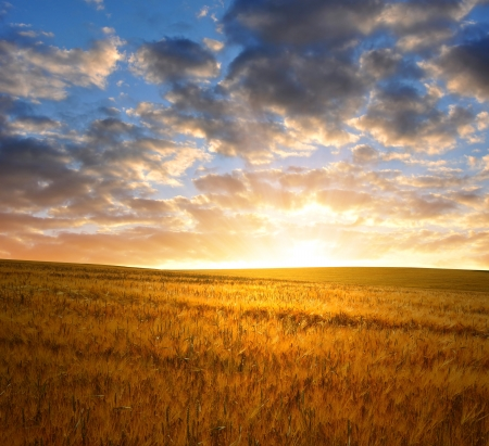 dramatic sky: sunset over wheat fields