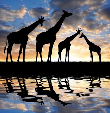 kenya: herd of giraffes in the sunset