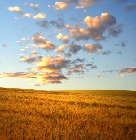 horizonte: puesta de sol sobre los campos de trigo