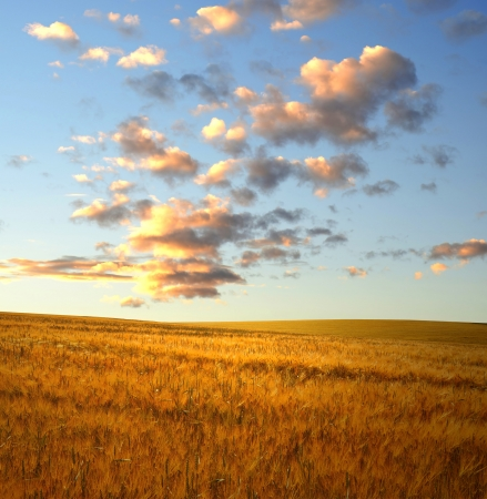 sunset over wheat fields photo