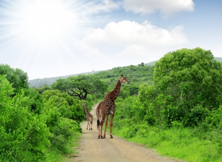 kruger national park: Giraffes in Kruger park South Africa
