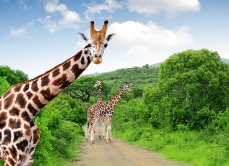 jirafa: Jirafas en el Parque Kruger de Sud�frica Foto de archivo