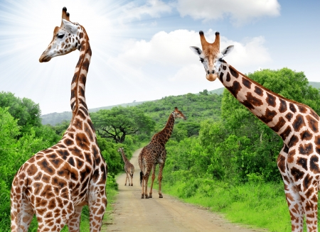 Giraffes in Kruger park , South Africa