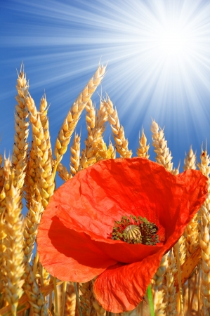 golden wheat with red poppy Stock Photo - 17076094